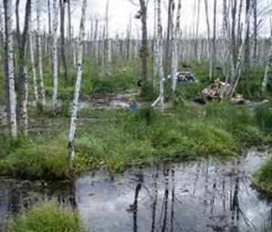 Крива-береза-на-моїм-болоті